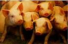 豚舎の豚たち